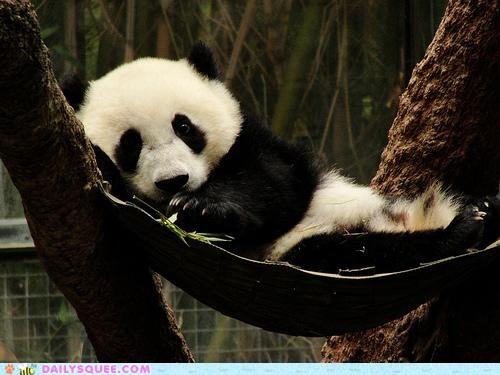 baby cub FTW greatest ever hammock panda panda bear sleeping - 4967435264