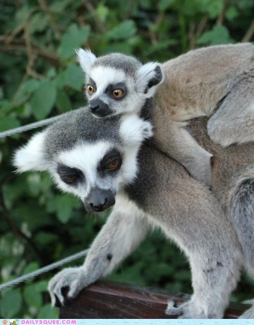 acting like animals annoyed baby carrying child excited lemur lemurs parent piggyback sarcasm - 4971186944