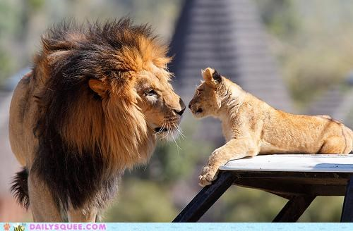 cub family lion lions looking love smell sniffing Staring - 4971223552