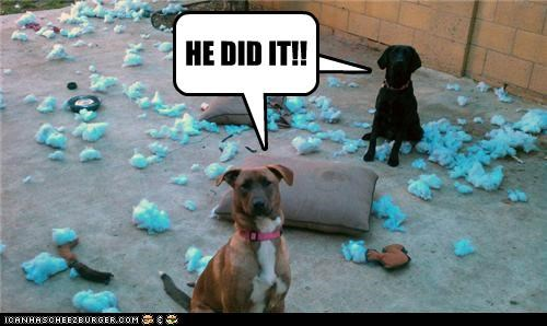 blame blame game chewing destruction he did it labrador mess mixed breed whatbreed