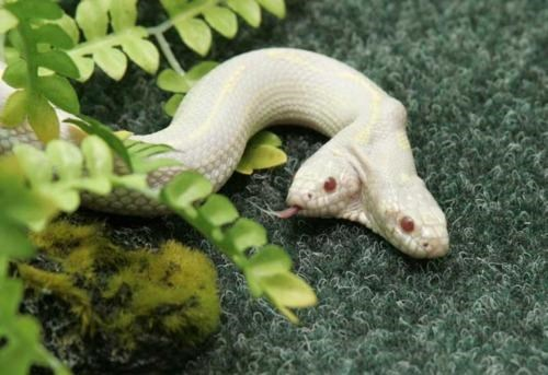 albino California Kingsna,freak of nature,Well This Is Something,Yalta