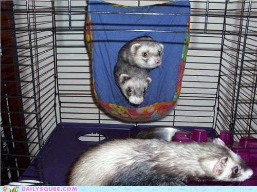ferret ferrets hammock names reader squees siblings - 4973503744
