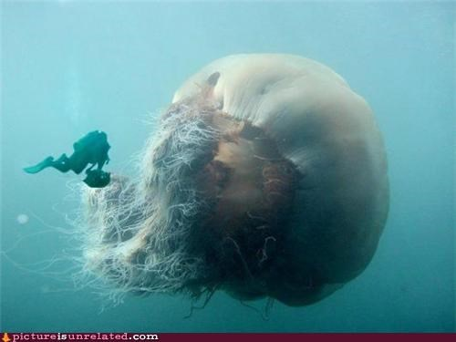 creepy huge jelly fish scuba diving wtf - 4976583168