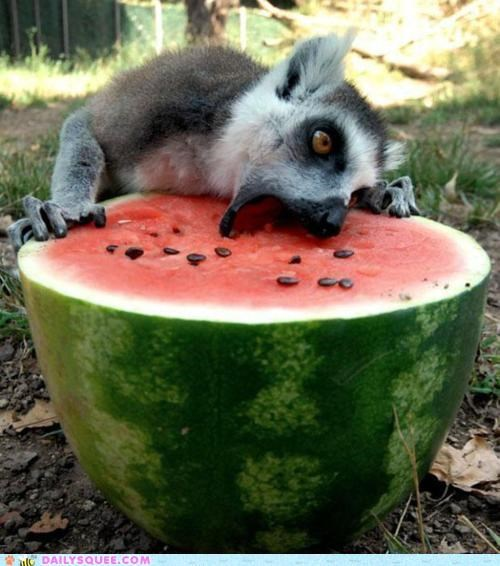 acting like animals bliss delicious excited Hall of Fame happy heaven lemur melon nomming noms paradise
