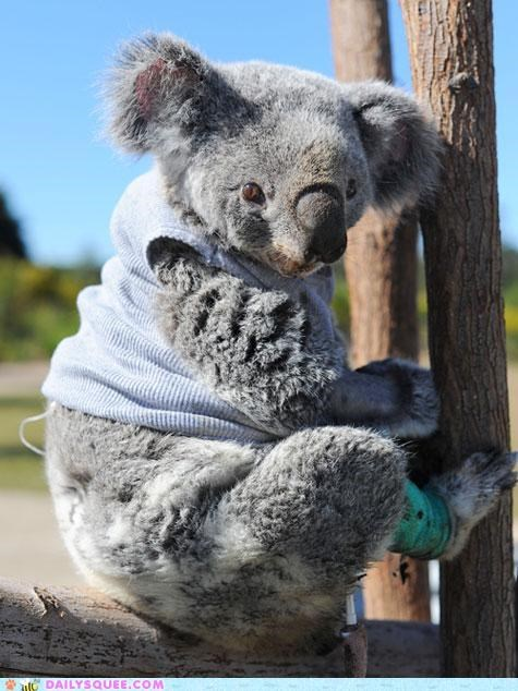adorable,bright side,cute,Hall of Fame,happy,injured,koala,recovering,Sad,sweater