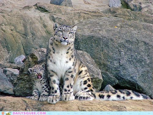 baby cub Hall of Fame meme show snow leopard snow leopards spotlight stealing - 4978557184