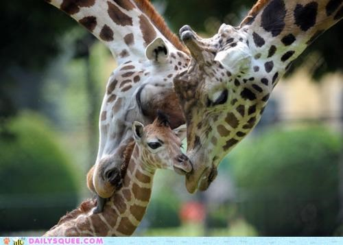 baby calf family giraffes Hall of Fame nuzzles nuzzling parents stays together