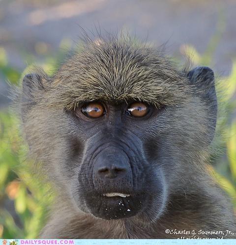 baboon cheeks cookies guilty hiding nomming noms stolen - 4978586368