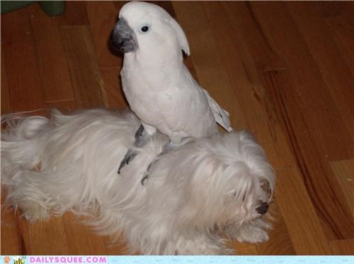 bird,brothers,cockatoo,dogs,friends,friendship,Interspecies Love,maltese,reader squees,siblings,umbrella cockatoo
