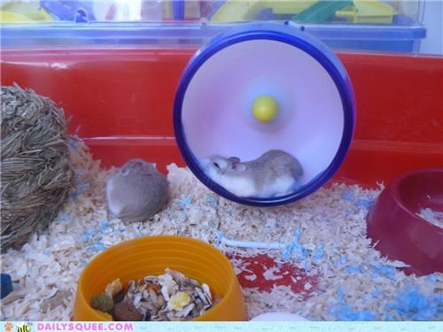 gibberish hamster hamsters lolwut pun reader squees sleeping - 4982653184