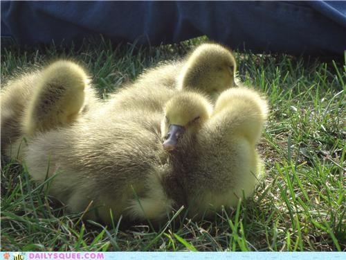 Babies baby comparison geese goose gosling goslings pile reader squees - 4982993408