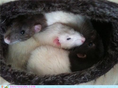 bed,cuddling,rat,rats,reader squees,three,trio,triplicate
