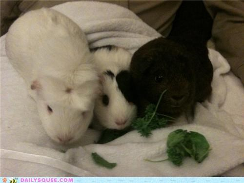 couch guinea pig guinea pigs nomming noms reader squees - 4983264768