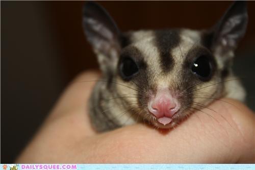 baby cute face nhot reader squees sugar glider - 4983288320