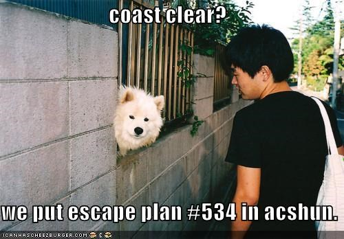 coast clear,escape plan,fence,outdoors,peaking,samoyed