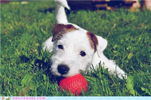 appropriate,dogs,jack russell terrier,name,pixel,puppy,reader squees,tiny