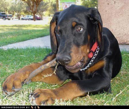 chewing doberman pinscher goggie ob teh week happy dog outdoors - 4986794496