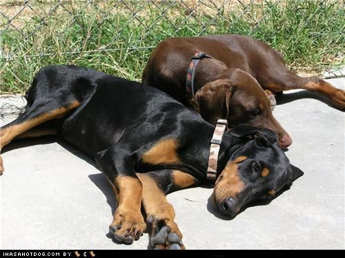 doberman pinscher goggie ob teh week outdoors resting sister taco and pepper