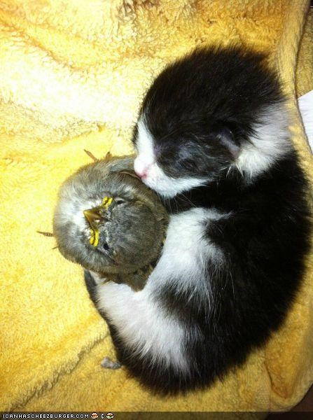 angry birds,asleep,bird,birds,cyoot kitteh of teh day,Interspecies Love,kitten,sleeping,tiny