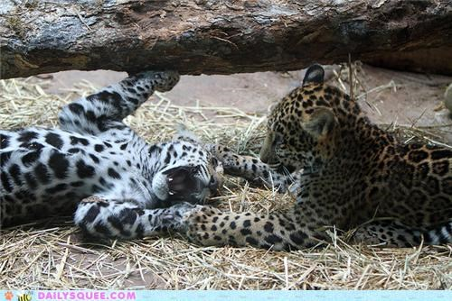 Babies baby cub cubs intense jaguar jaguars playing playtime squee spree - 4988118016