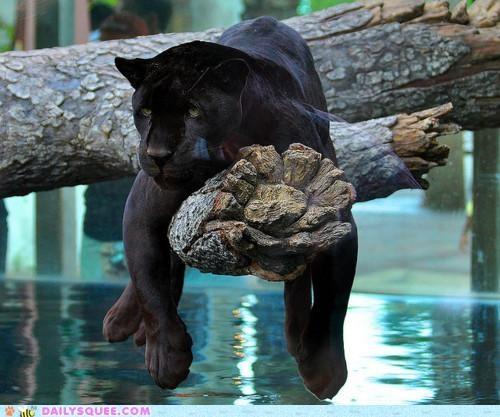 acting like animals black jaguar contemplating Hall of Fame jaguar lazy low key panther philosophical thinking whimsical