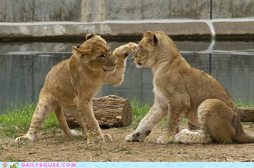 acting like animals claws cub cubs fighting lie lion lions lying playing prank - 4988197632