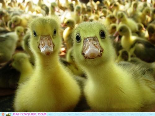 best closeup curious duckling ducklings Hall of Fame inquiring inquisitive looking part upside - 4988211456