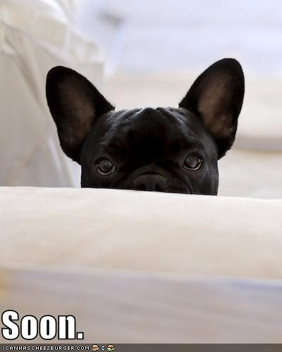 eyes french bulldogs peeking SOON watching you whatre-you-doing - 4990119680