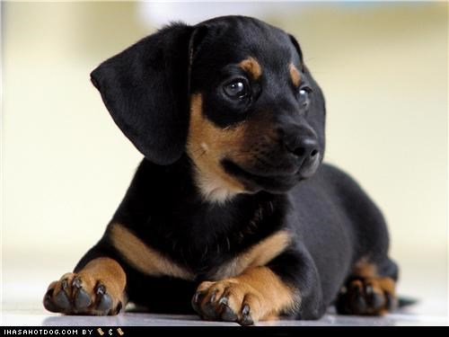black and tan coonhound,cyoot puppeh ob teh day,daydreaming,laying down,puppy