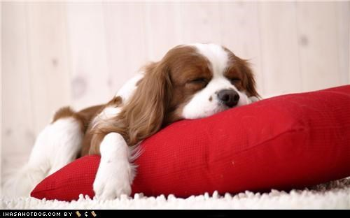cavalier king charles spaniel,puppy,red pillow,sleeping
