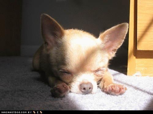 chihuahua cyoot puppeh ob teh day nap time sleeping sun beam dreams - 4990435584