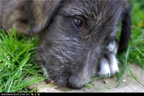 curious cyoot puppeh ob teh day interesting smells irish wolfhound outdoors puppy smelling - 4990548992