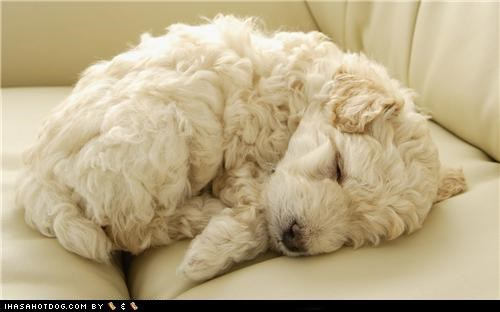 asleep,couch,cyoot puppeh ob teh day,poodle,puppy,sleeping,dogs