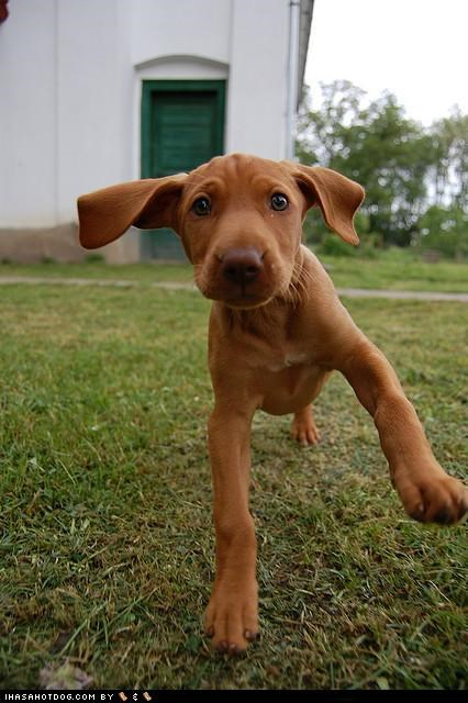 cyoot puppeh ob teh day,dancing,outside,puppy,vizsla,walking