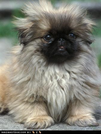 crazy hair,cyoot puppeh ob teh day,hair,pekingese,puppy