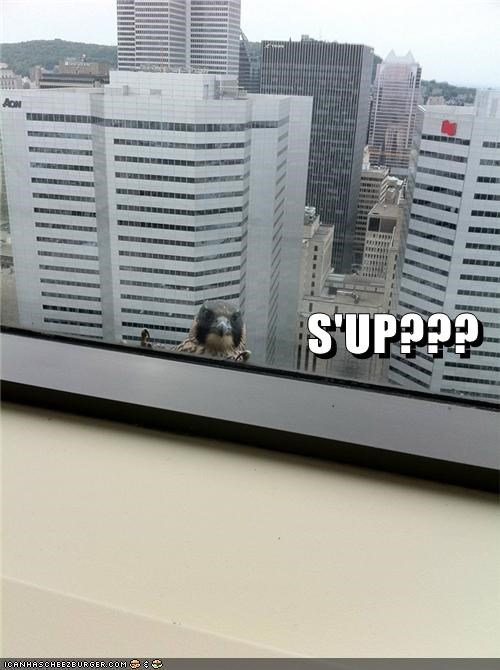 birds caption captioned city creepy hawk stalking sup window - 4991540480