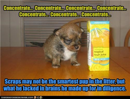 Concentrate... Concentrate... Concentrate... Concentrate... Concentrate... Concentrate... Concentrate... Scraps may not be the smartest pup in the litter, but what he lacked in brains he made up for in diligence.