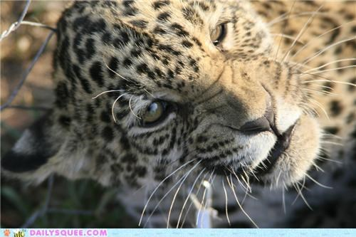 annoyed baby face jaguar snarling squee spree upset - 4991713024