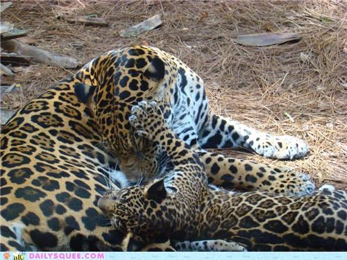 baby cub end goodbye jaguar jaguars mother squee spree waiting - 4992106240