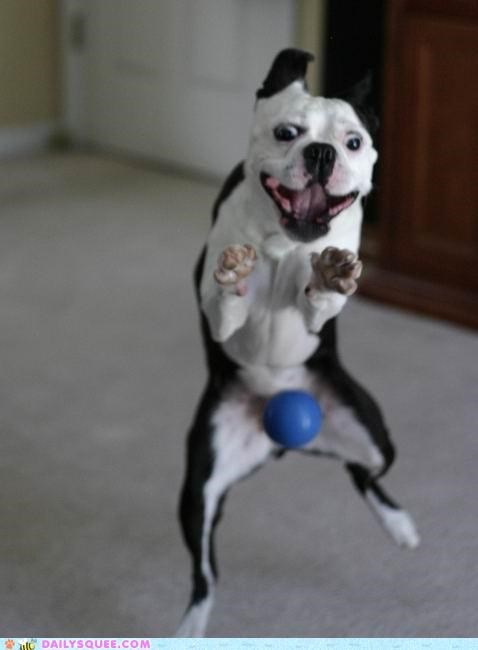 Funny pic taken at the right moment of a dog chasing a ball that is about to hit him in the balls.