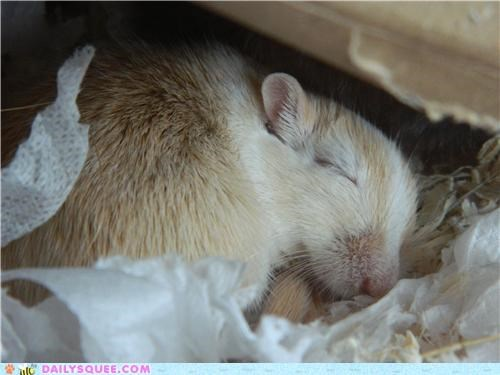 corn do want dream dreaming dreams gerbil noms peas reader squees sleeping stuff sunflower seeds
