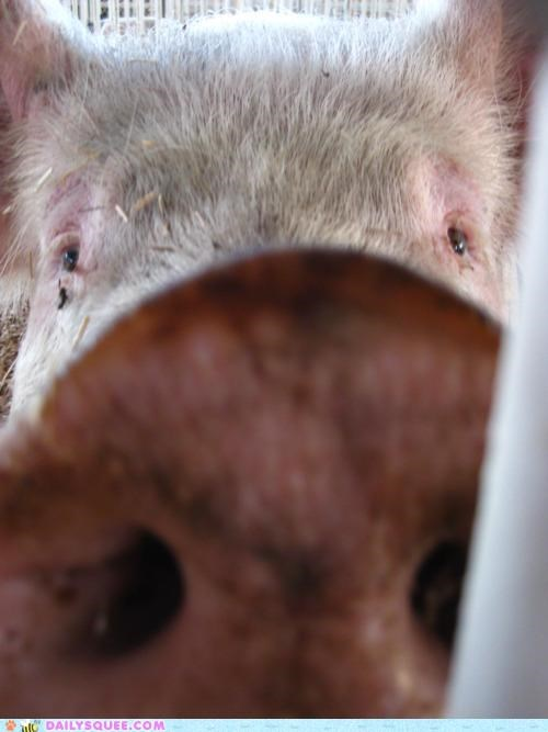 acceptable,camera,closeup,double meaning,hog,Okay,pig,pun,redundancy