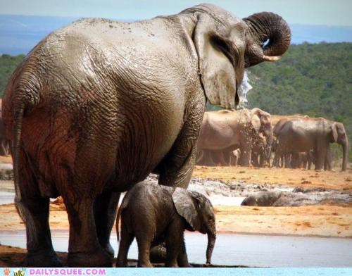 baby double meaning drinking elephant elephants family mother watering whole - 4994811648