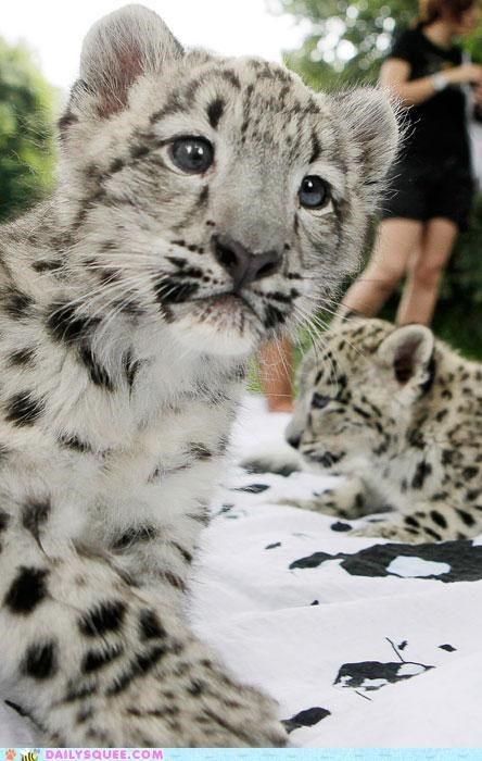 Babies baby contradiction cub cubs Hall of Fame snow snow leopard - 4994843136
