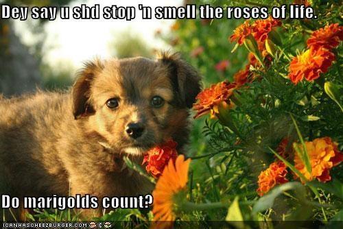 enjoy the little things,flowers,marigolds,norwich terrier,outdoors,puppy,sunny day