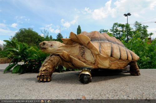amputee awesome injury legs science tortoise Video wheel win - 4998382592