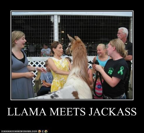 llama,Michele Bachmann,political pictures