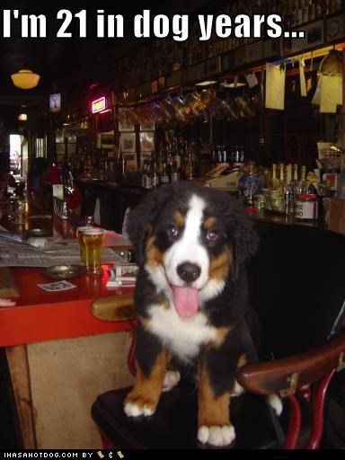 beagle,bernese mountain dog,goggie breed ob teh week,goggie ob teh week,irish setter,pekingese