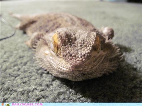 bearded dragon,digging,double meaning,lizard,reader squees,sand,sleepy,tired