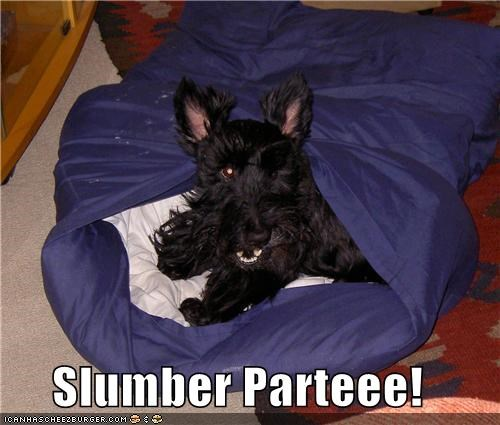 excited,happy dog,pillowcase,scottish terrier,sleepover,slumber party
